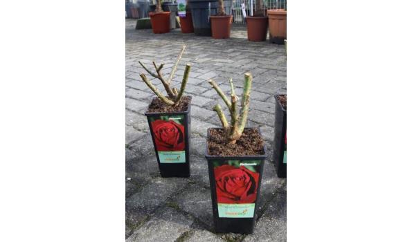 Roos kleur rood 35cm