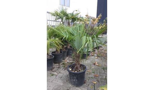 Trachycarpus Fortunei 110/120cm