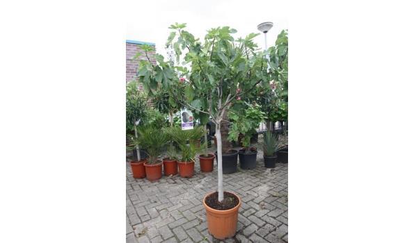 Ficus carica 180cm, donkere vijg