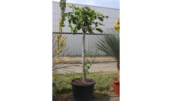 Ficus carica 200cm, donkere vijg