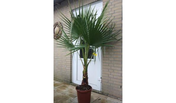 Washingtonia robusta 190cm