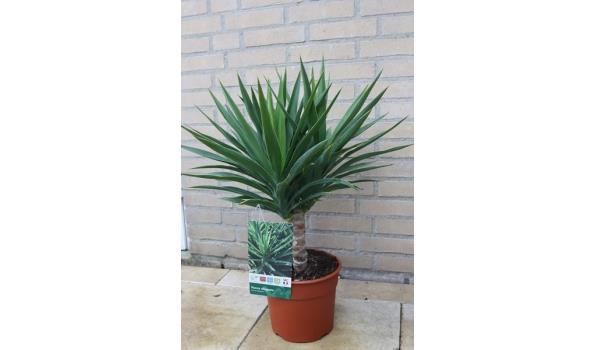 Yucca Elegans 70cm