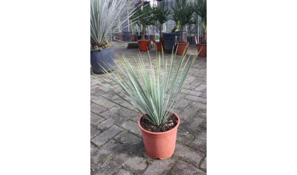 Yucca Rostrata 60cm