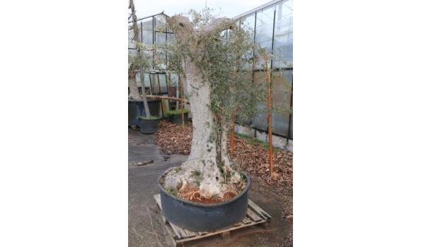 Olijfboom in pot - totale hoogte ca. 215cm