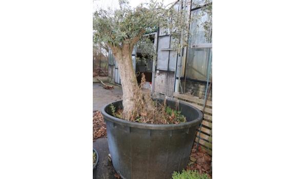 Olijfboom in pot - totale hoogte ca. 210cm