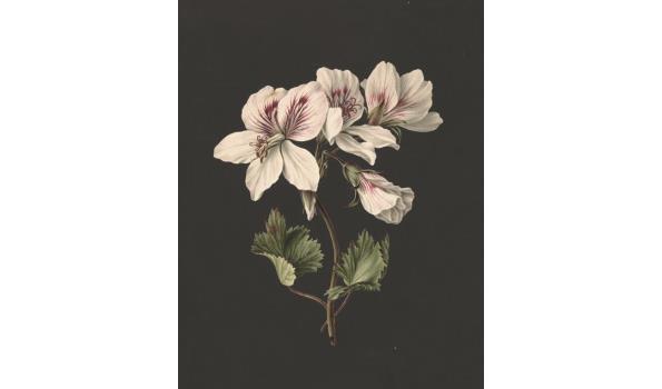Pelargonium album bicolor op forex, 140cm
