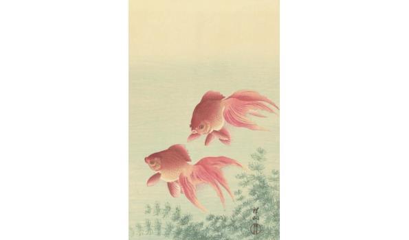 Twee sluierstaart goudvissen op forex, 160cm